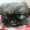 ペキニーズ子犬販売情報