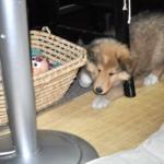 コリー子犬画像