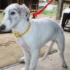 ボルゾイ子犬販売情報