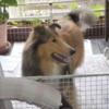 ラフコリー子犬情報