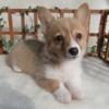 ウェルシュコーギーペンブロークの子犬情報