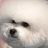 ビションフリーゼ子犬販売情報