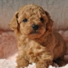 トイプードル子犬情報