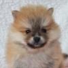 ポメラニアン子犬販売情報