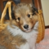 シェットランドシープドッグ(シェルティ)子犬販売情報