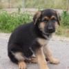ジャーマンシェパードドッグ子犬販売情報