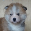 秋田犬の子犬情報