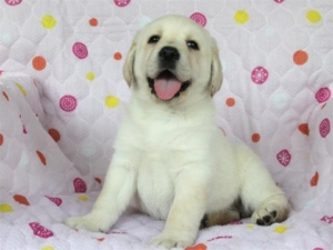 ラブラドール子犬