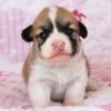 コーギー子犬