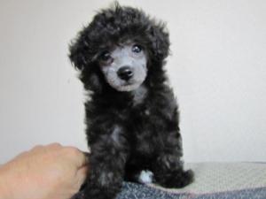 トイプードル シルバー子犬