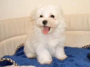マルチーズ 長野ブリーダー子犬