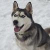 シベリアンハスキー子犬販売情報