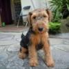 ウェルシュテリアの子犬販売