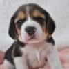 ビーグル子犬販売情報