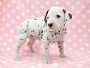 ダルメシアンの子犬