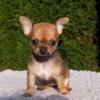チワワ・スムース子犬販売情報