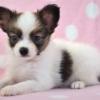 パピヨン子犬情報