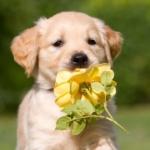ゴールデン子犬画像