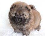 チャウチャウ子犬