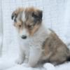 シェットランドシープドッグの子犬販売情報