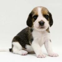 1509_beagle (1)