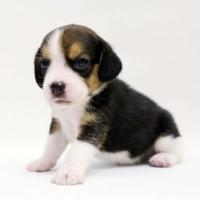 1509_beagle (2)
