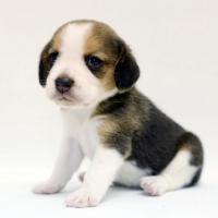 1509_beagle (4)