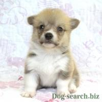 コーギー子犬 メス