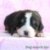 バーニーズ犬画像