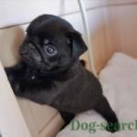 黒パグ 子犬画像