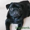 黒パグ 子犬