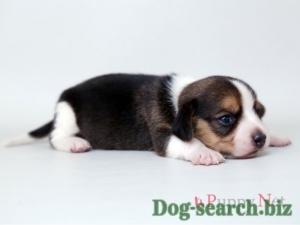 beagle (1)