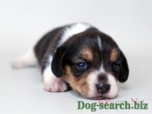 beagle (3)