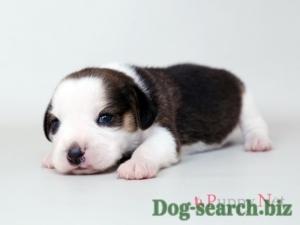 beagle (4)