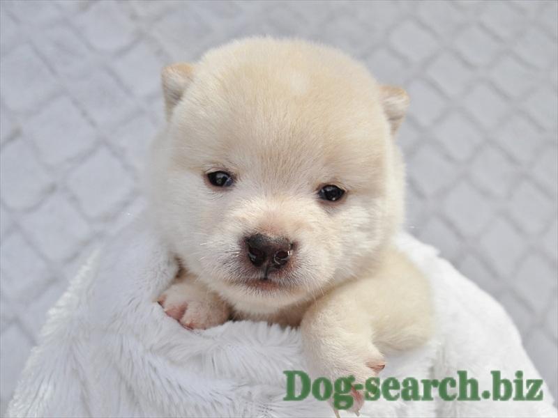 白シバ 子犬