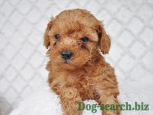 トイプードル子犬画像