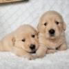 ゴールデンレトリーバー子犬販売情報