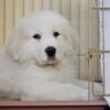 グレートピレニーズ子犬販売情報