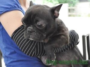 フレンチブルドッグ 母犬
