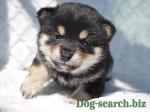 黒柴 子犬
