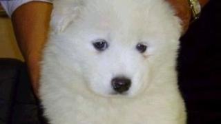 サモエド子犬