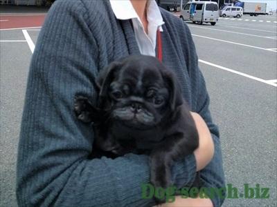 黒パグ子犬