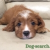 キャバプー子犬
