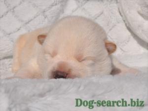 白柴の子犬