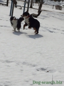 バーニーズ犬