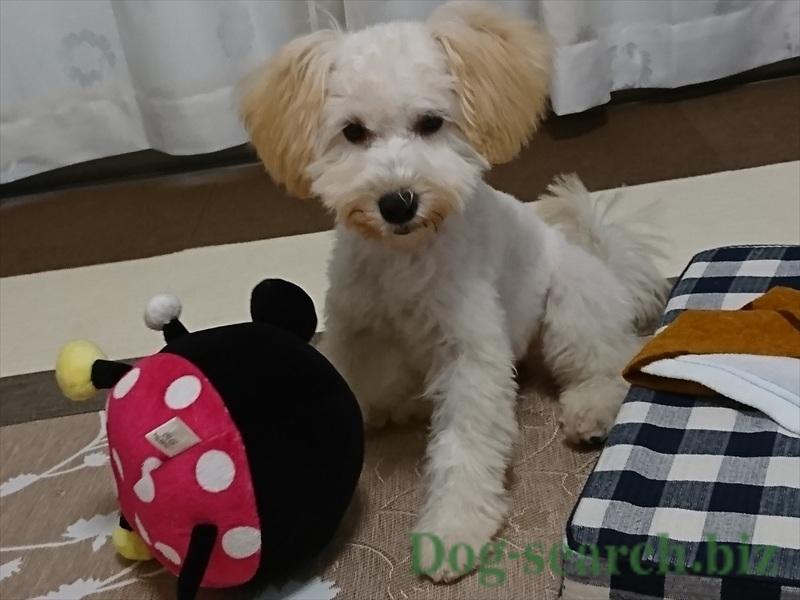 シュナプー子犬