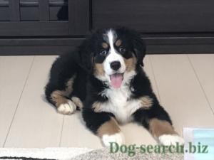 バーニーズマウンテン子犬