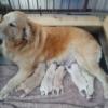 ゴールデンレトリバー・ブリーダー子犬販売情報