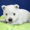 ウェストハイランドホワイトテリア子犬情報