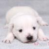 ウェストハイランドホワイトテリア子犬情報(18年12月生)